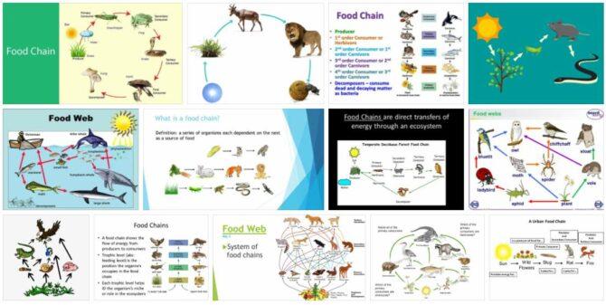 Food Chain 2